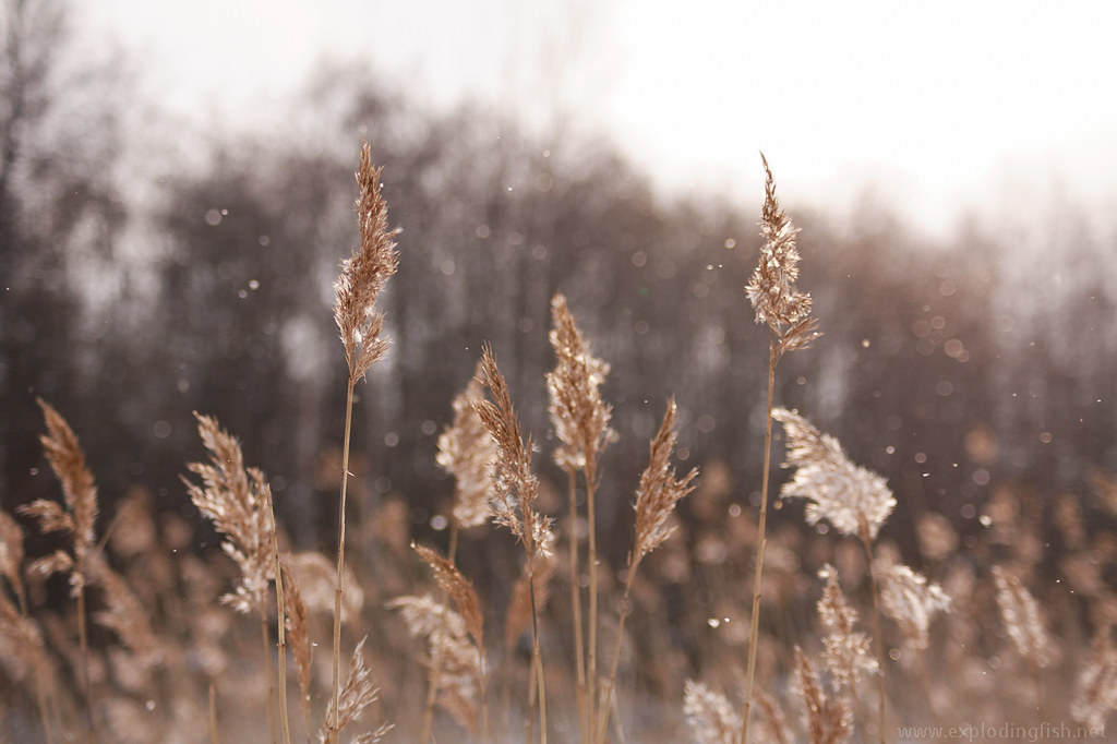 Reeds and falling snow