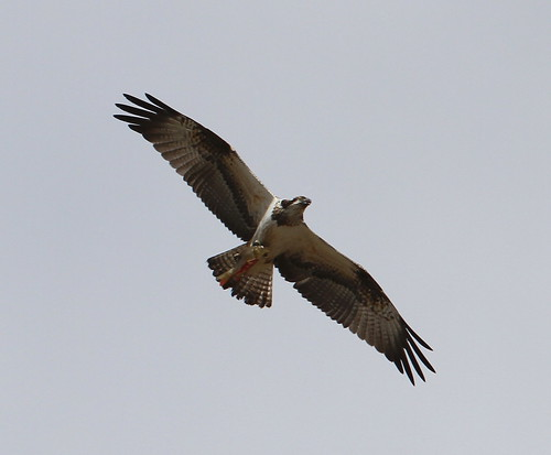 2011_09_28 TD - Osprey (Pandion haliaetus) 01