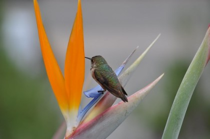 hummingbird on a bird of paradise