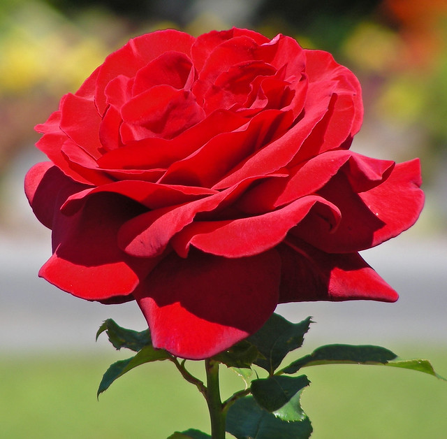 Royal William Hybrid Tea Rose  Flickr  Photo Sharing