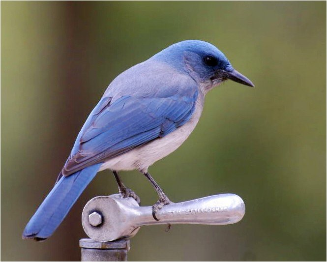 A Mexican jay sits on a water spigot
