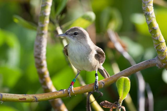 Millerbird posing on Laysan Island