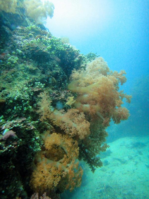 Gato Island soft corals on reef