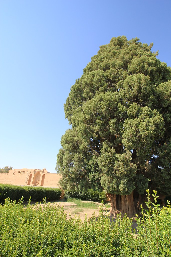 4,000-year-old Iranian cypress