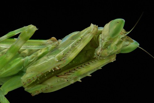 Adult Jeweled Flower Mantis (Creobroter gemmatus)