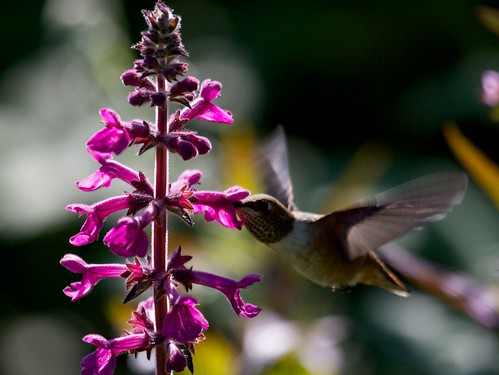 Rufous Hummingbird & Great Hedge Nettle