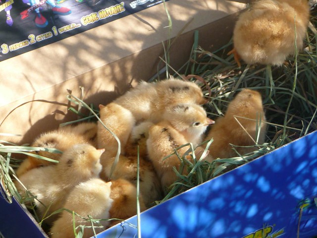 broody and chicks - 2