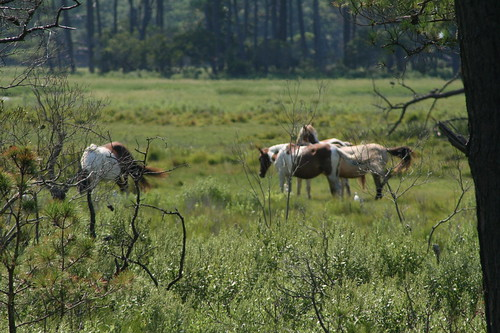 Chincoteague wild horses zoom