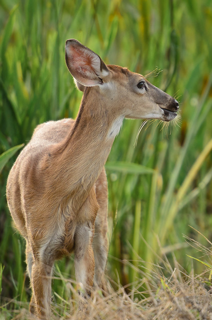 Young deer at Viera Wetlands