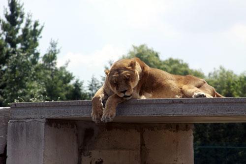 sleeping lion, toronto ontario canada