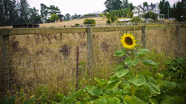 the Petaluma farm