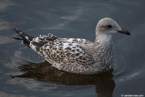 Lesser Black-backed Gull (Larus fuscus graellsii - Dutch integrade), 1cy, leucistic
