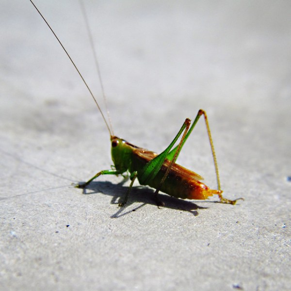 grasshopper long antenna Flickr Photo Sharing!