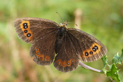 Scotch Argus (erebia aethiops)
