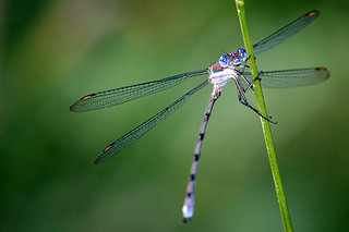 Great Spreadwing (Archilestes grandis) - Westminster, CO