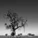 El Pomar Drive Oak Tree