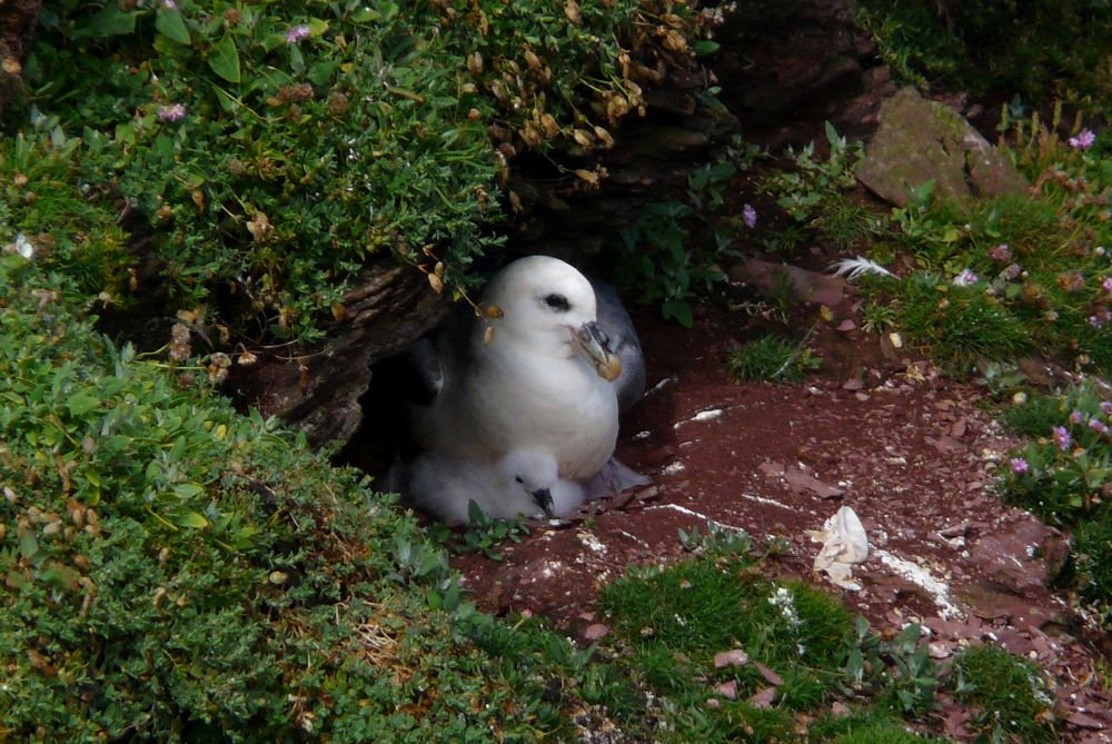 Fulmar on chick