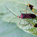 Chinche de patas de hoja / Leaf-footed bug