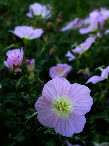 Pink Petal Power by Jason A. Samfield