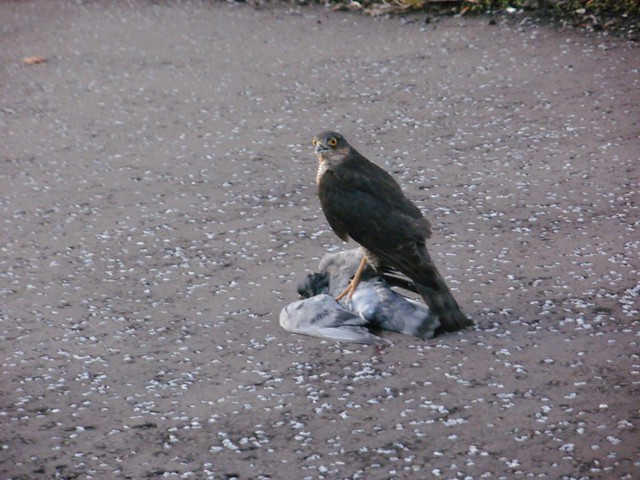 28 Oct 2011 Sparrowhawk