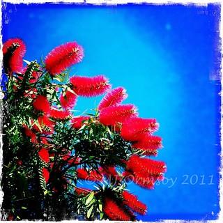 Red Wattle