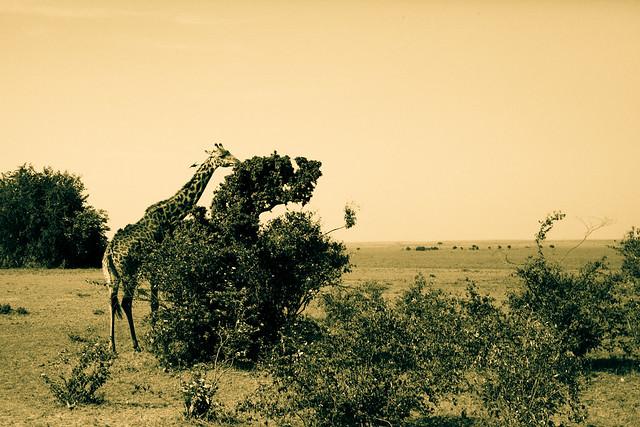 Giraffes (5)