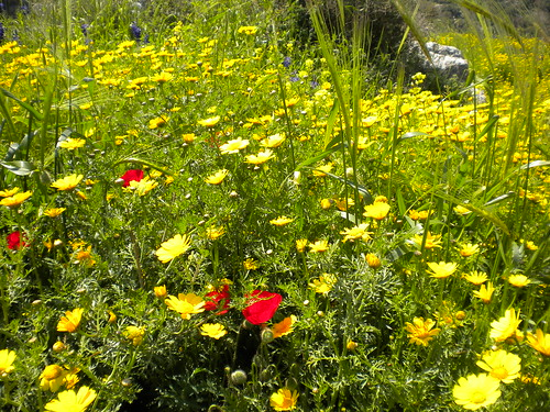 Wild Poppies And Wild Yellow Daisey - Beit Shemesh Israel