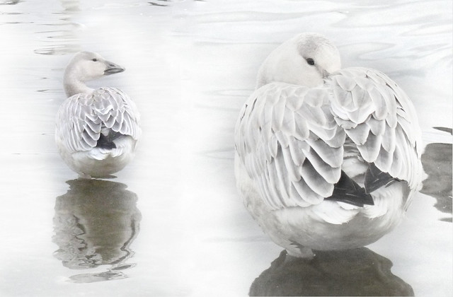 Oie des neiges. Snowgoose