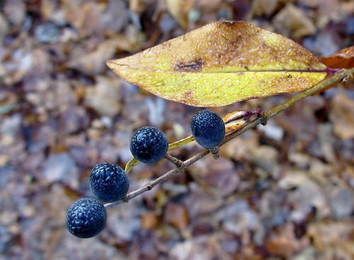 Dew on berries