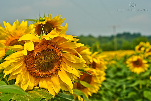 Sunflower Fields (4/4)