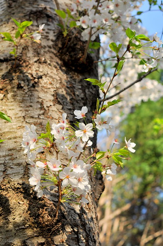 cherry blossoms, trunk