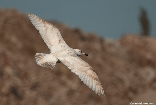 European Herring Gull, 1cy, leucistic (brown abbaration)