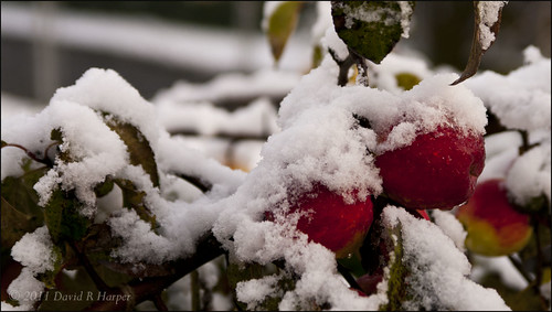 Day 323 :: 365 ..::.. Snow Capped Apples by Echo9er