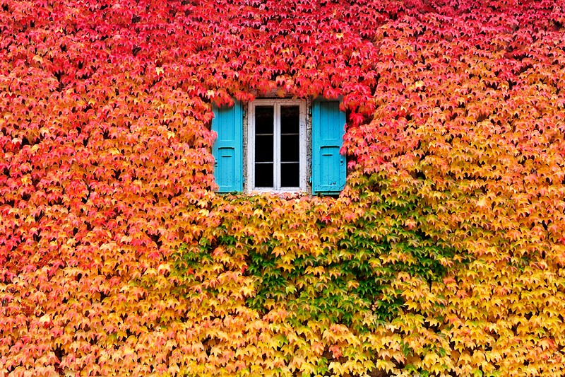 http://twistedsifter.com/2012/10/wall-of-fall-leaves-lone-window/