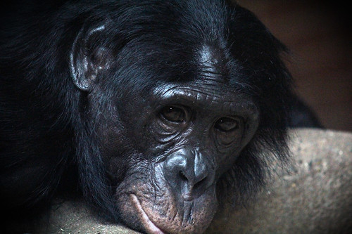 Bonobo relaxing by Graphic Reality