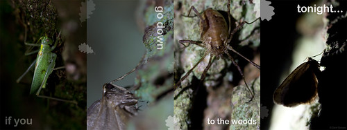 Oak bush-cricket, harvestman and winter moths montage