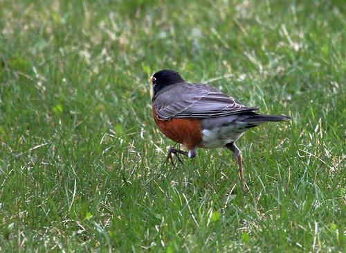 03/30/12 - Robin on the Run