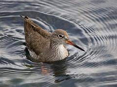 Wader wading