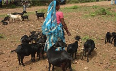 Tending to her flock in Jharkhand