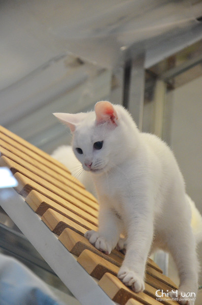 小小白貓三胞胎02.jpg