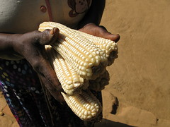 Even with heavy rain, drought tolerant maize p...