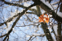 leaves in snow