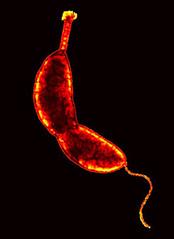 Caulobacter crescentus