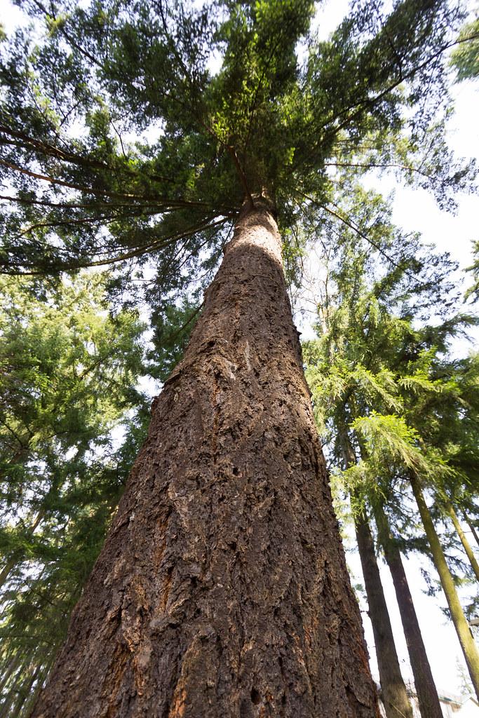 Tall Douglas fir