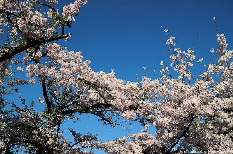 阿里山櫻花季22