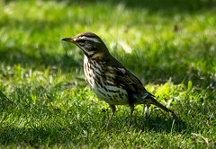 Redwing on the lawn