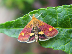 "Pyrausta aurata (Alan Allport) • <a style=""font-size:0.8em;"" href=""http://www.flickr.com/photos/60890513@N06/6884452546/"" target=""_blank"">View on Flickr</a>"