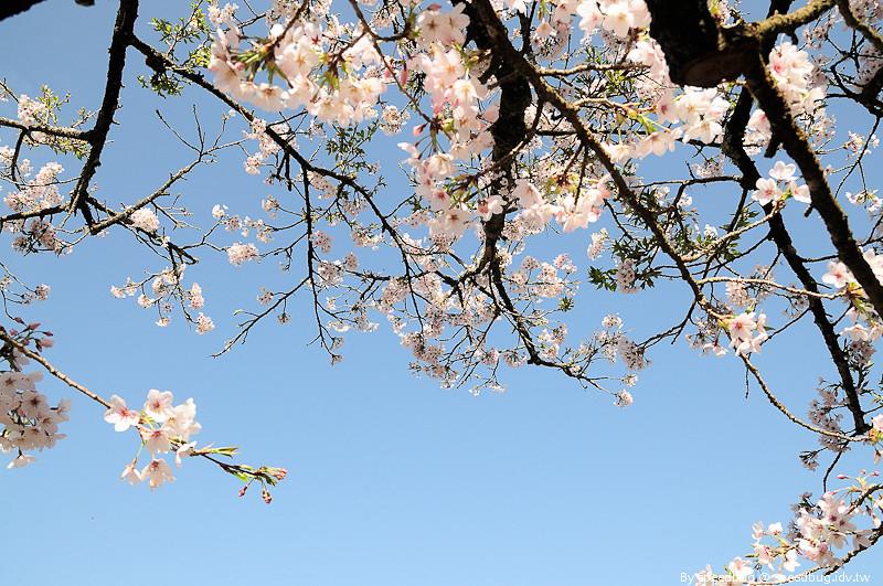 阿里山櫻花季91