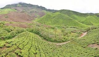 cameron highlands- malaisie 32