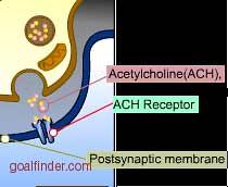 Goalfinder brain-acetylcholine